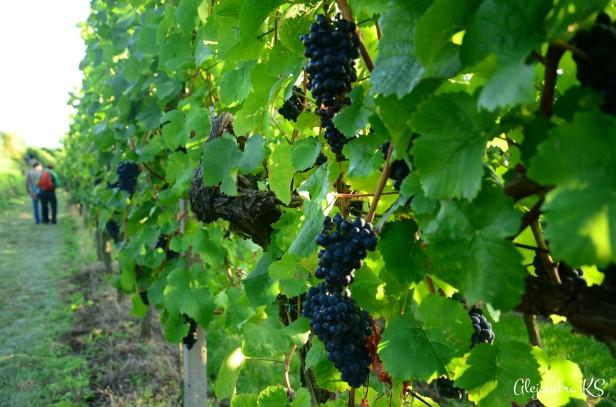 Dulces y apetitosas uvas.